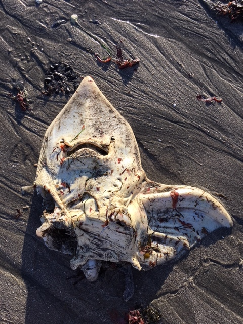 a rarely seen guitar fish carcass! Photo by naturalist Zach Lim