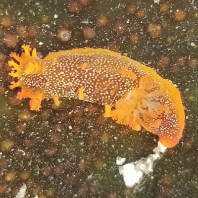 Triopha maculata nudibranch- Photo by Helen Zhu