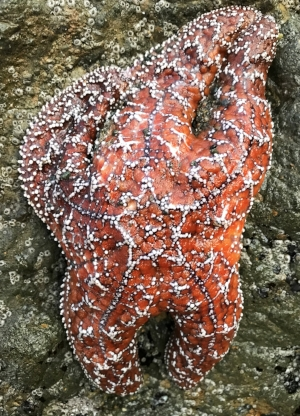 One of many Ochre Stars found on the trek.