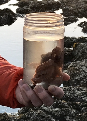 Always a tide pooling highlight- this Pacific Red Octopus made a last minute appearance.