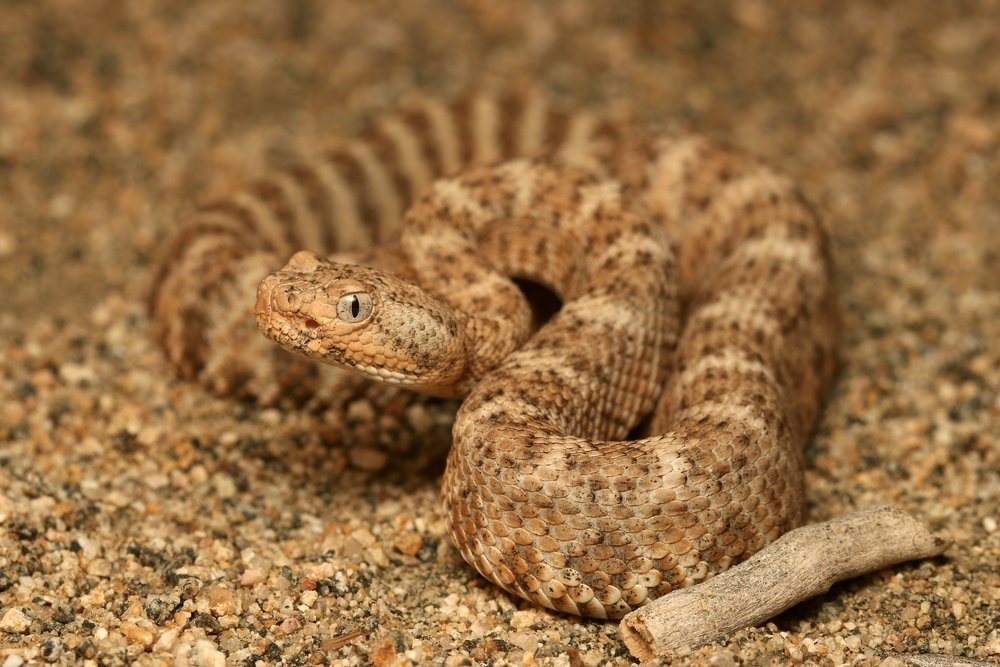 Closer look at the Speckled Rattlesnake!