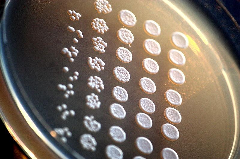 Laboratoorne_pagaripärm_(Saccharomyces_cerevisiae)_agariplaadil..JPG