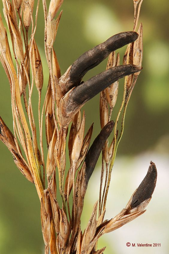 Ergot on wheat