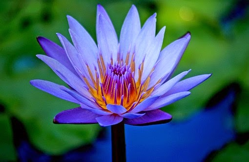 blue-lotus-flower-entheogen of ancient egypt.jpg