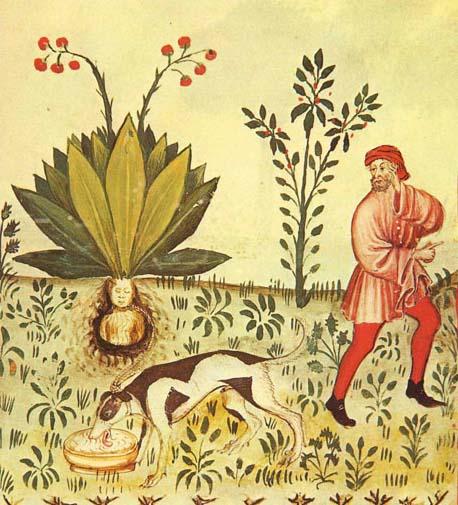 Mandrake Harvest