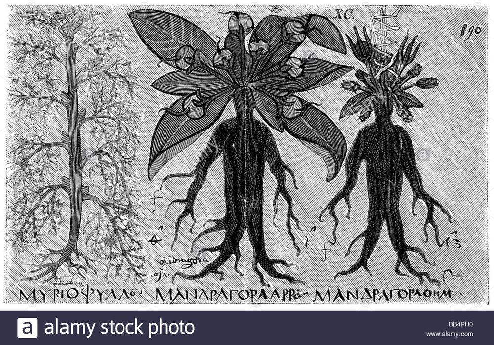 Discorides - Mandrake