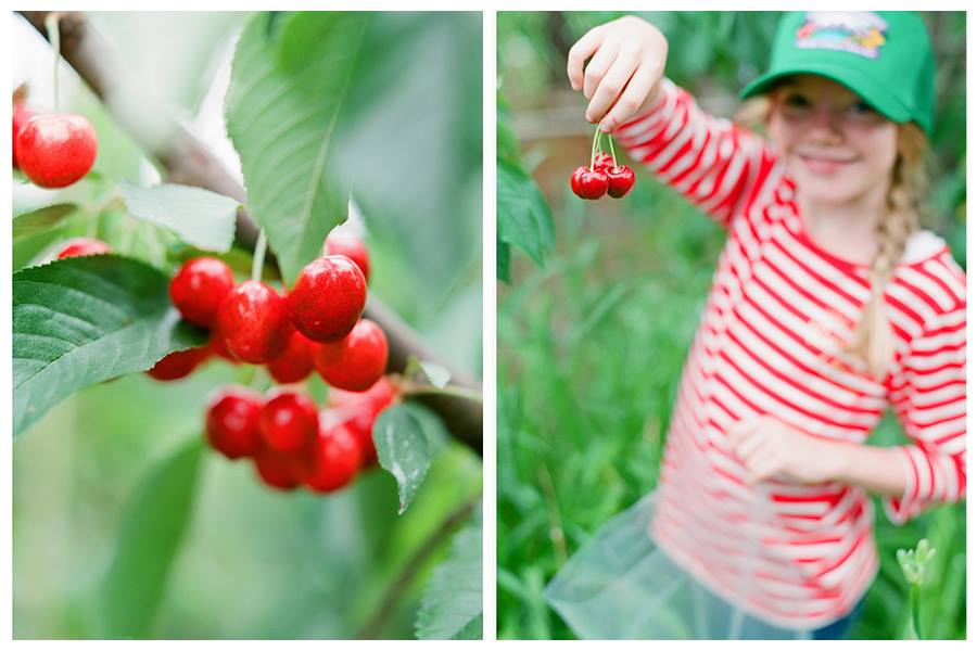 A happy little farmer picking cherries this July at Mt. View Orchards.