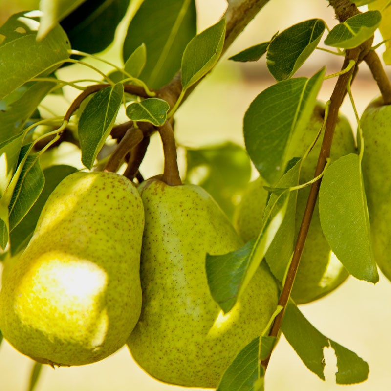 Hanging_Pears