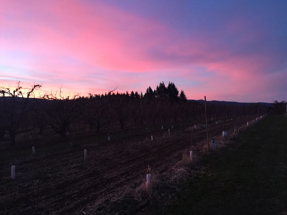 sunset in orchard