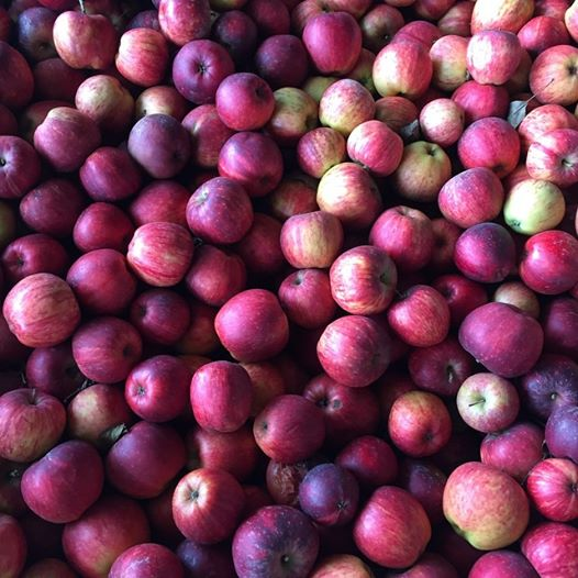 winesap cider apples ready for pressing