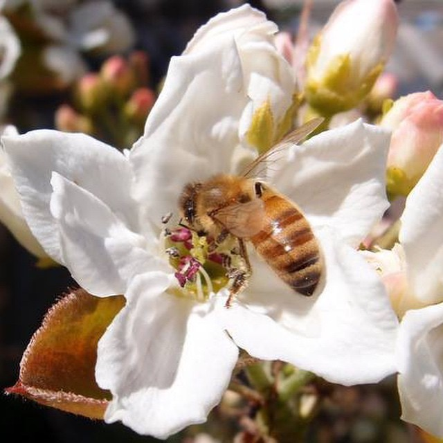 Mason Honey bee pollinating a pear blossom.