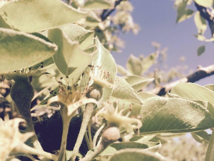 Baby Bartlett Pears