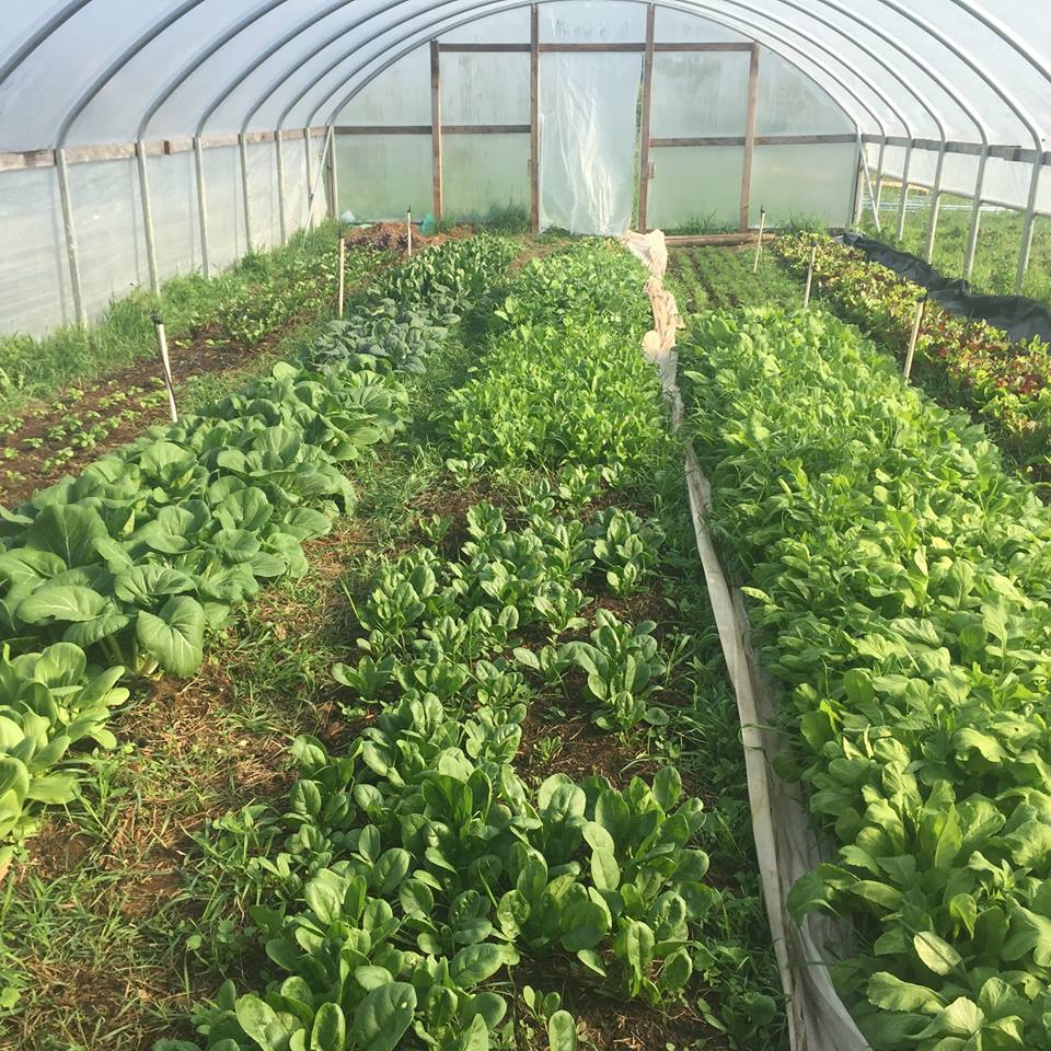 Inside Saur Farms hoop house is a bounty of veggie goodness, They are ready for markets!
