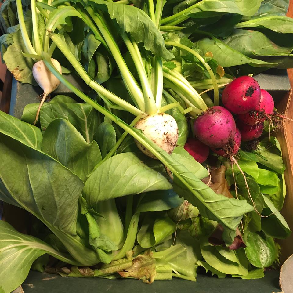Our PRIZE= The best radishes and turnips we have ever had. Saur farms you guys are so generous! So glad you guys farm on Trout Creek Ridge Rd!