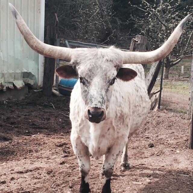 Carlos the Steer