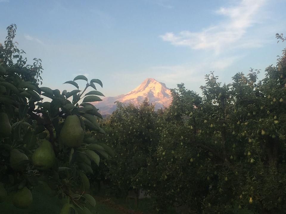 Mt Hood and Bartlett pears