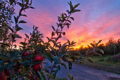 sunrise in the orchard