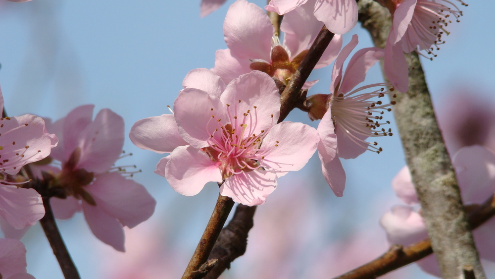Pink Cherry blossoms in full bloom. Coming soon....