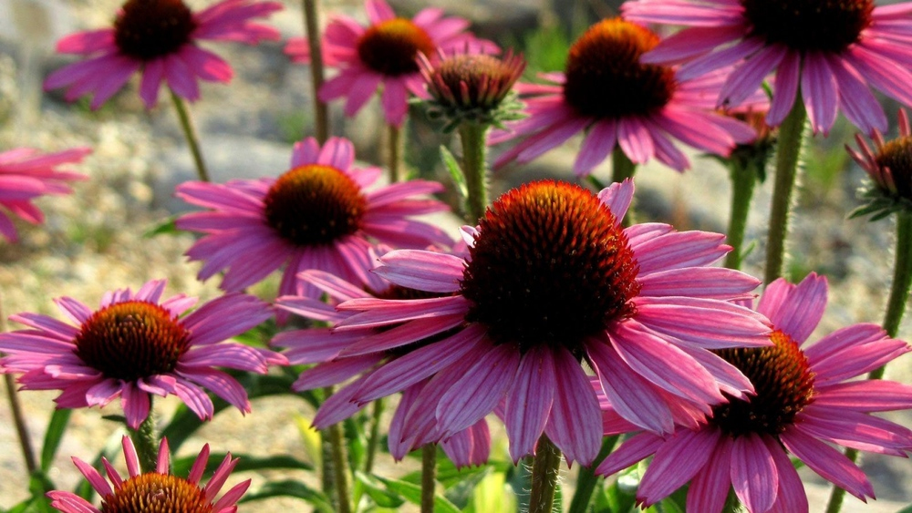 Dr. Kerry Bone was internationally recognized for his research into the immunological effects of Echinacea Purpurea.