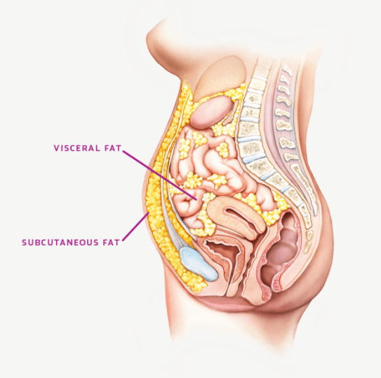 There are two major types of fat in your body: visceral and subcutaneous  - Visceral: Fat that forms around your organs. Subcutaneous: Fat that forms under the surface of your skin.While eating right and working out can help reduce visceral fat, subcutaneous fat can be difficult to lose. UltraShape targets and eliminates stubborn (subcutaneous) belly fat that's resistant to diet and exercise.