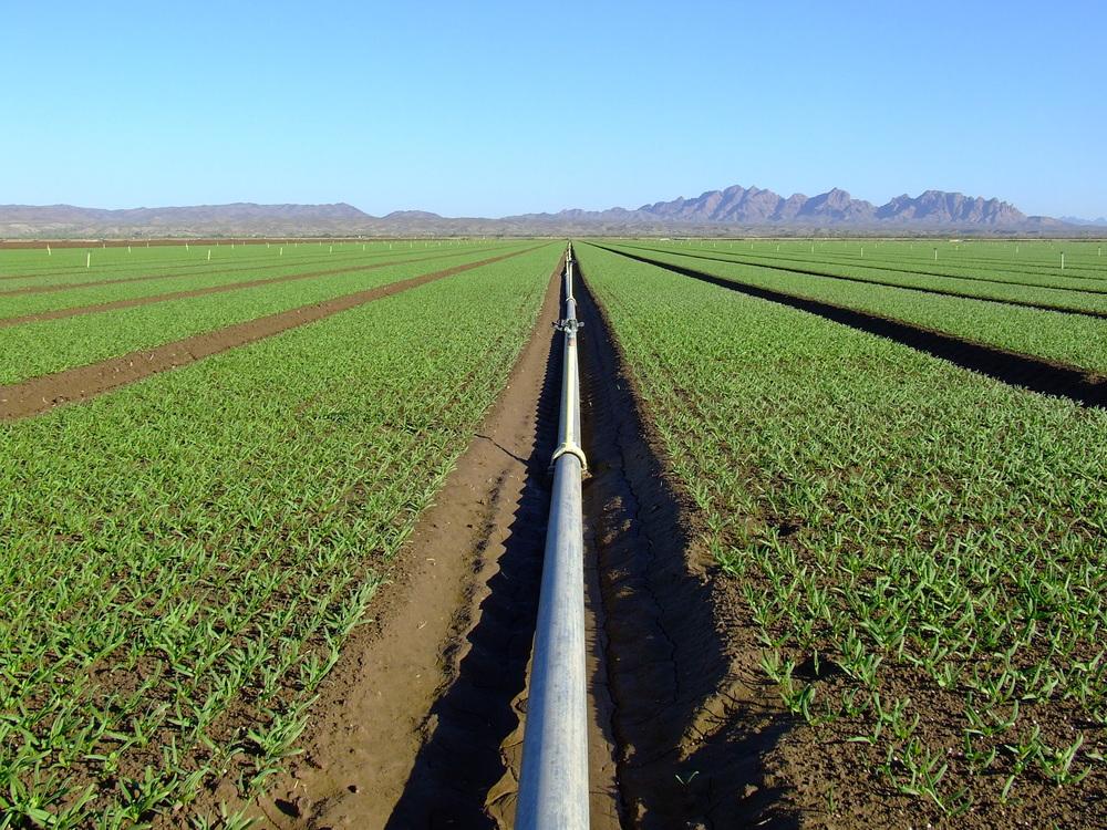 Spinach Starts in AZ.