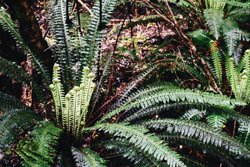 Crown Ferns.JPG