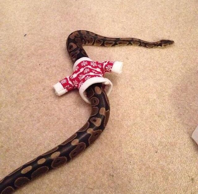 cuteanimalspics: And the Christmas sweater madness starts