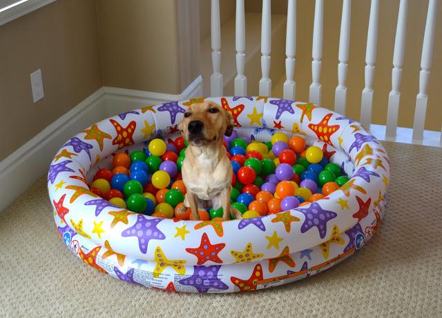 tugboatsandthings: Zelda, in a ball pit.