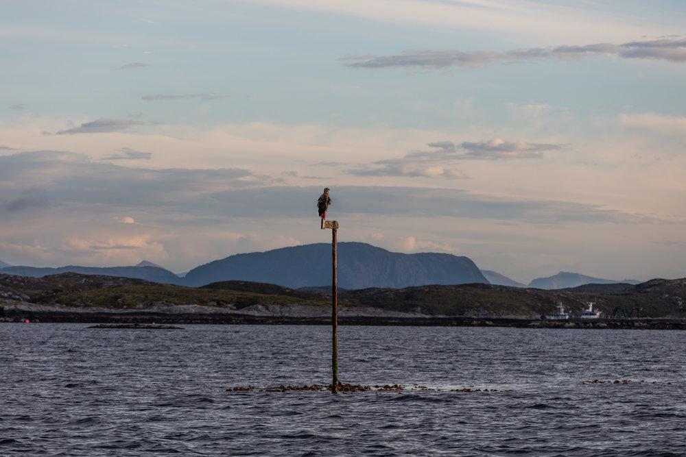 Ørn-Hitra-Norge-norway-fotoknoff-sven-erik-knoff-1122.jpg