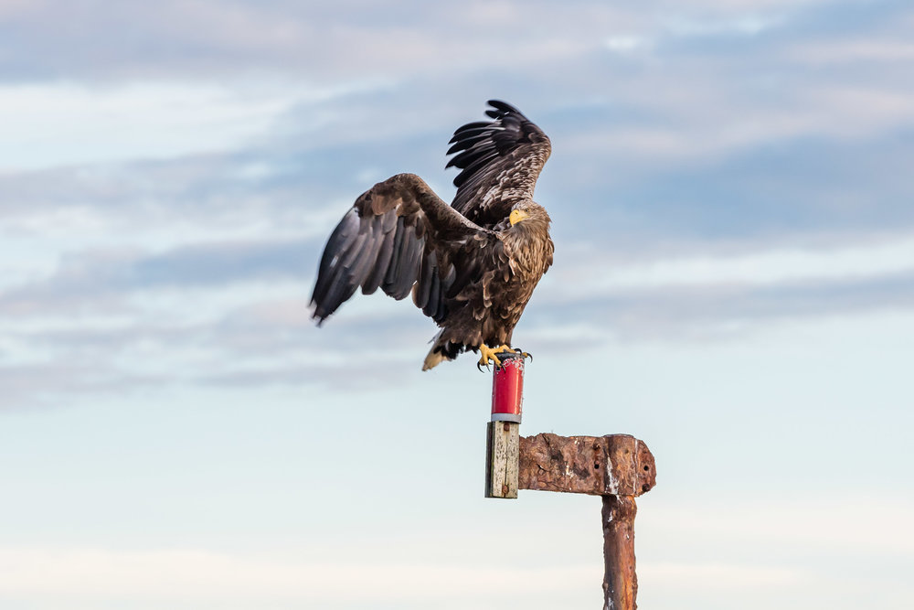 Sea-eagle-Hitra-norway-fotoknoff-sven-erik-knoff-1150.jpg