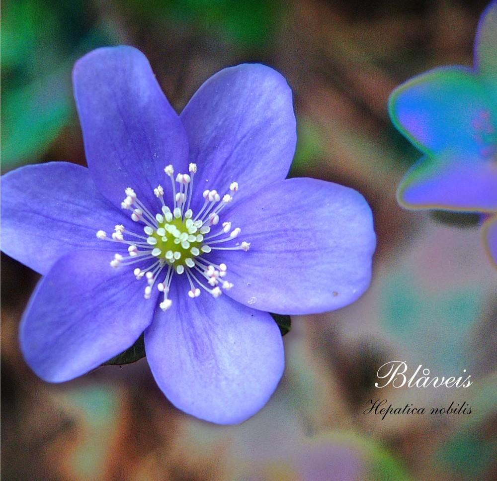 Blåvei, en vakker blomst i den norske flora.