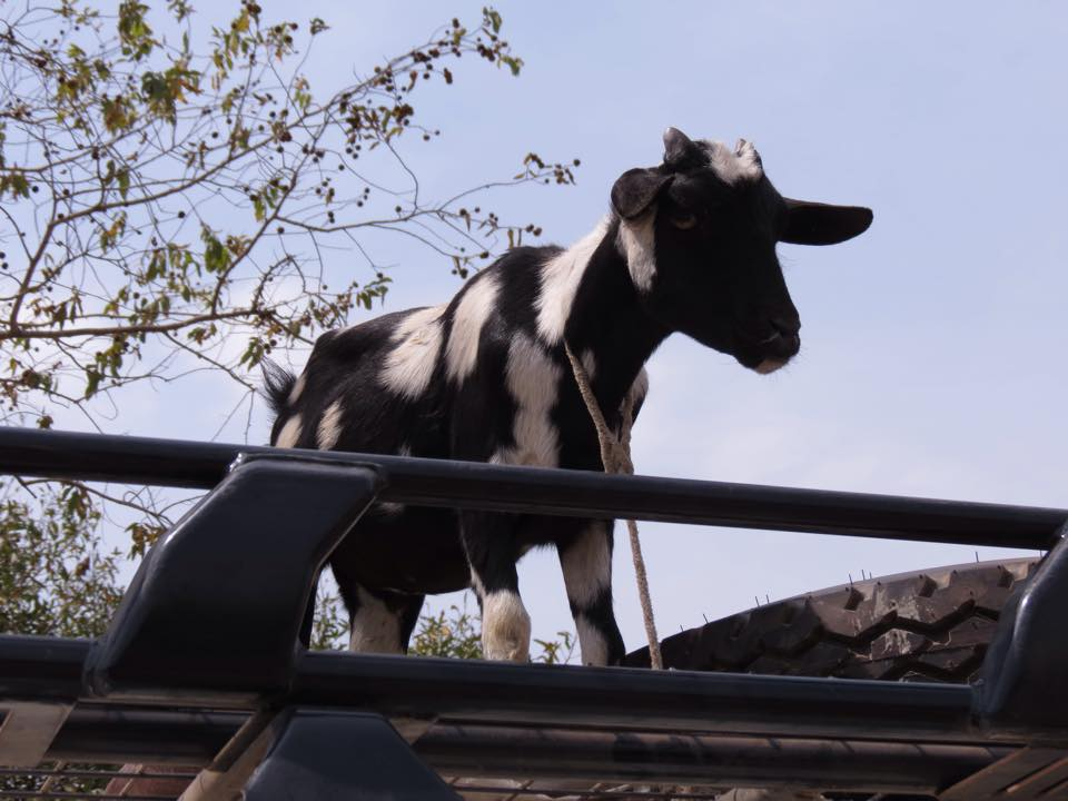 Goat on vehicle.jpg