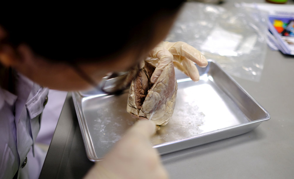 Dissecting a sheep's heart