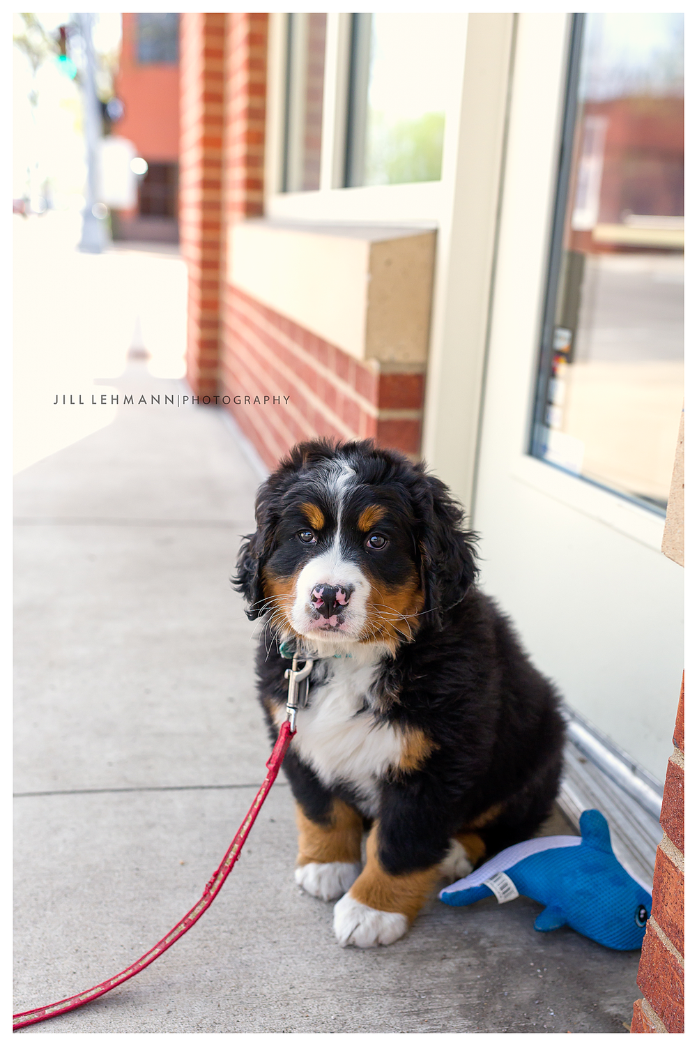 Pet Photography Des Moines, Iowa - Bernese Mountain Dog