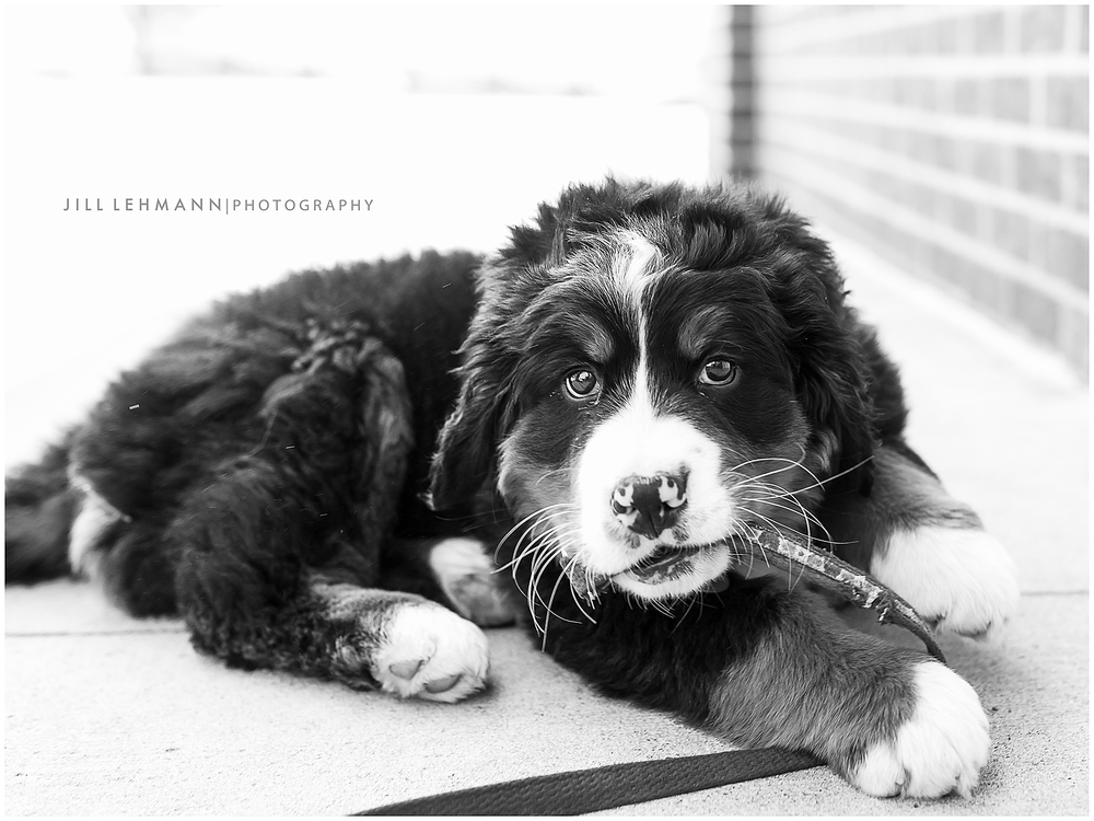 Pet Photography / Des Moines, IA / Bernese Mountain Dog