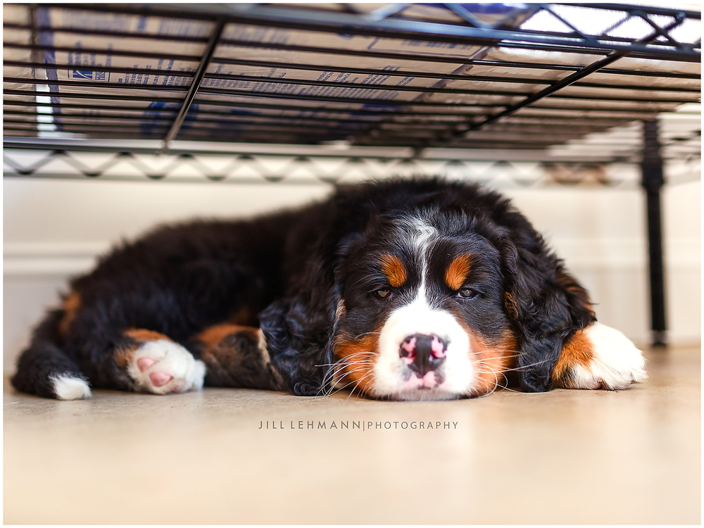 A Sleepy Bernese Puppy!
