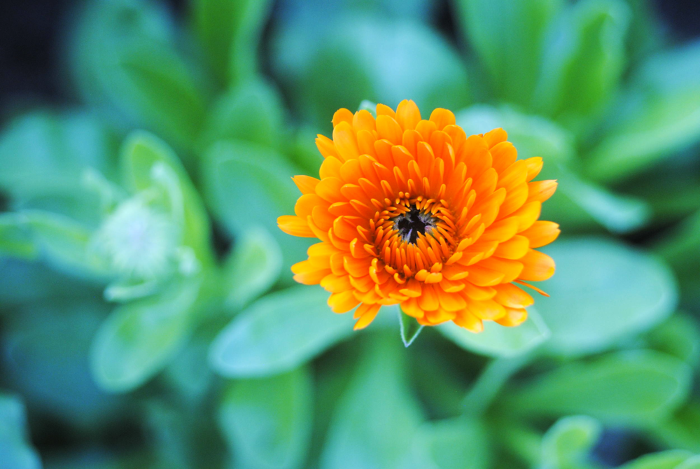a calendula in january.