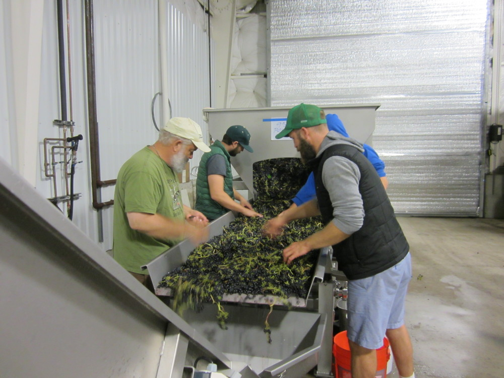 Hand sorting Syrah, 2015 Harvest