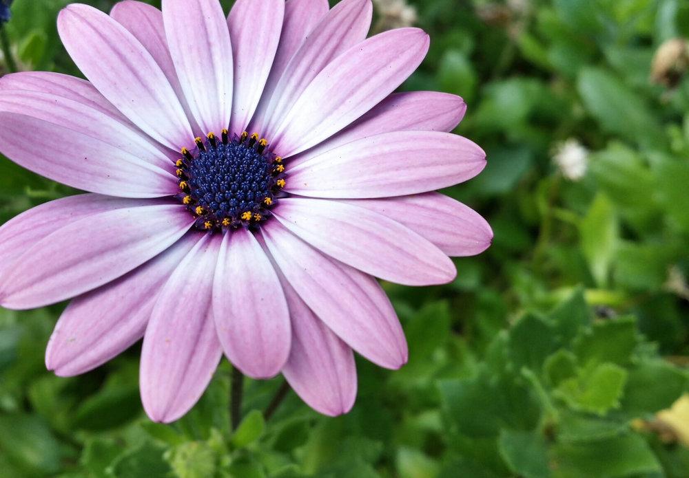 flowerPurplecetnerblueM.jpg
