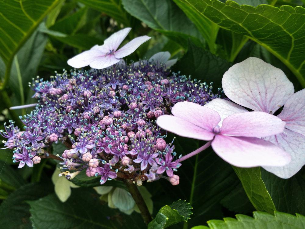 flowerPurplefairyM.jpg