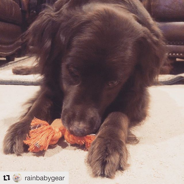 """#Repost @rainbabygear with @get_repost ・・・ """"Love my new tug toy! Thanks @housedogge. Could barely chew open the box fast enough!"""" —❤️ 🐶 Baci"""