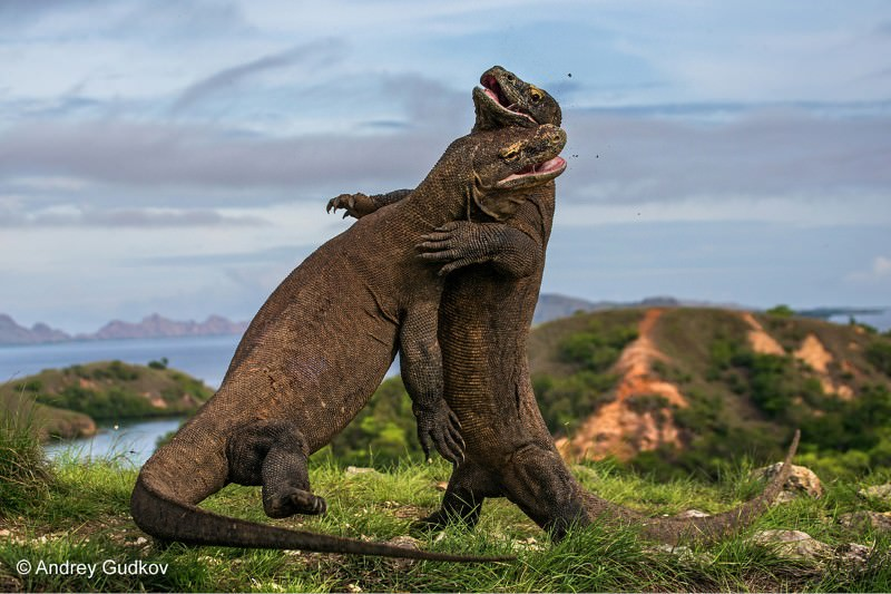Komodo Dragons caught on camera fighting in mating season. Image : Newscientist.com