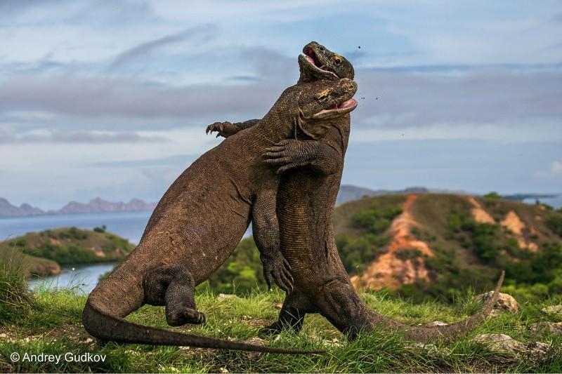Komodo Dragons caught on camera fighting in mating season. Image : Newscientist.com