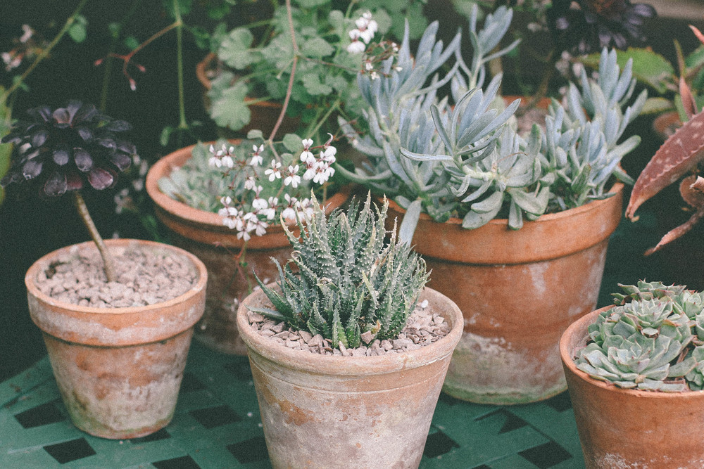pots of succulents