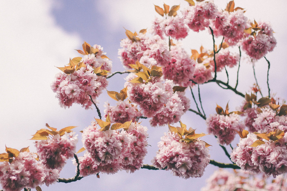 pink candy blossom
