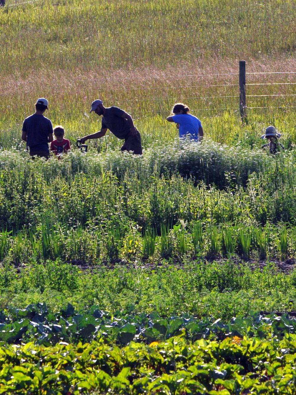 Carrot harvest brigade.