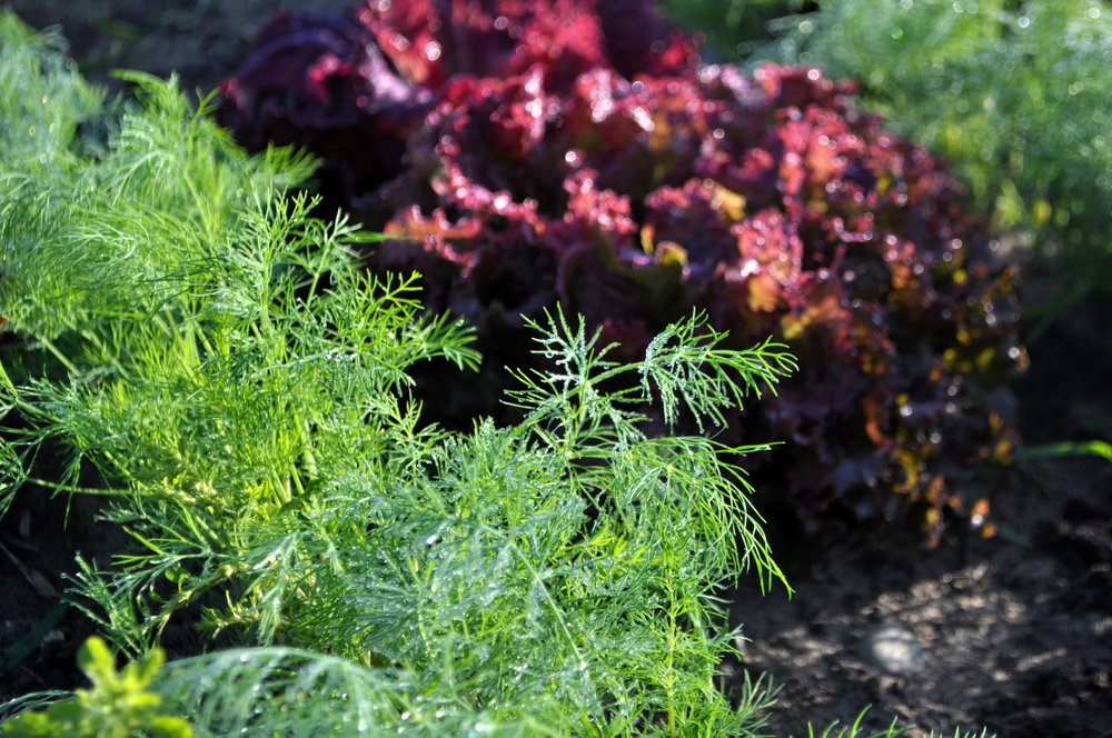 Dill and red-leaf lettuce.