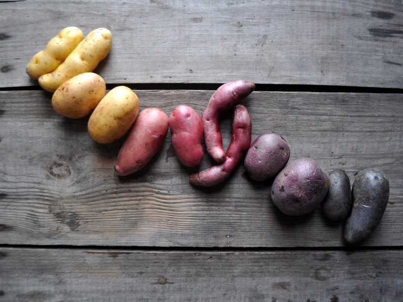 Potatoes pictured L to R : Russian Banana, Yukon Gem, French Fingerling, Papa Cacho, Peter Wilcox, and All Blue.