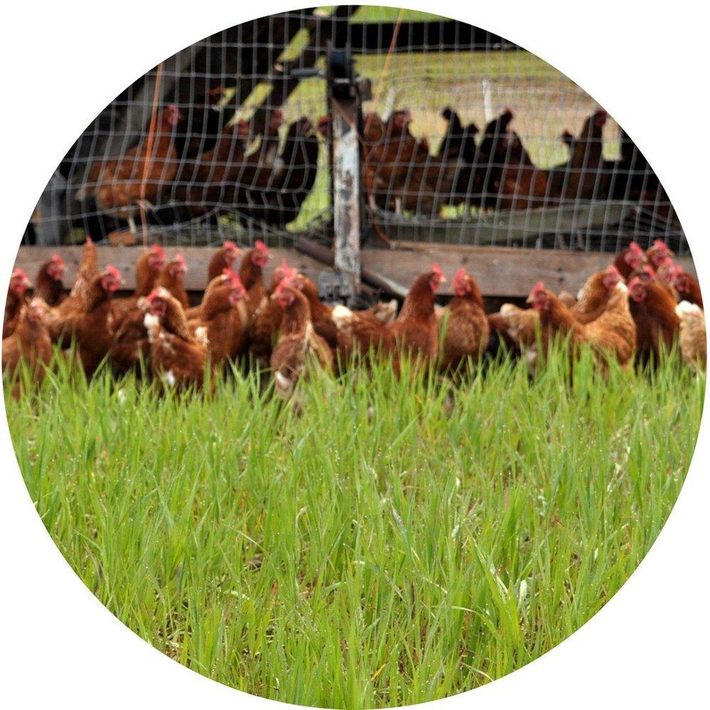 Pasture-Raised Chickens