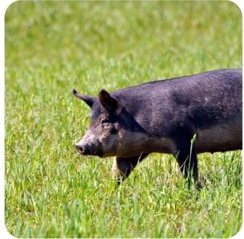 Pasture Raised Heritage Pork